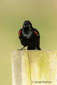 Male Red-winged Blackbird vocalizing to a female in Ridgefield National Wildlife Refuge, Ridgefield, Washington, USA