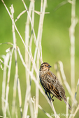 Female Red-winged Blackbird perched on cattails listening to a nearby male call, at Ridgefield National Wildlife Refuge, Ridgefield, Washington, USA