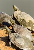 Western Painted Turtles sunning themselves in Ridgefield National Wildlife Refuge, Ridgefield, Washington, USA.
