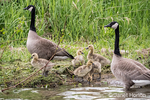 Male and female Canada Geese with their goslings at Lake Sammamish State Park, Issaquah, Washington, USA.