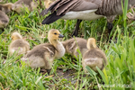 Young Canada Geese goslings at Lake Sammamish State Park, Issaquah, Washington, USA.