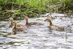 Young Canada Geese goslings swimming after their mother at Lake Sammamish State Park, Issaquah, Washington, USA.