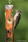 Female Hairy Woodpecker eating from a log suet feeder in Issaquah, Washington, USA