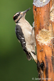 Male Hairy Woodpecker eating from a log suet feeder in Issaquah, Washington, USA