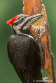 Female Pileated Woodpecker eating from a log suet feeder in Issaquah, Washington, USA