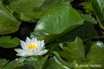 Water Lillies in bloom at Juanita Bay Park, Kirkland, Washington, USA