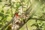 Red-breasted Sapsucker perched on a tree full of woodpecker holes, at Juanita Bay Park in Kirkland, Washington, USA