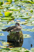 Female Wood Duck perched on a tree stump among the water lilies at Juanita Bay Park, Kirkland, Washington, USA