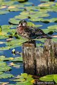 Male Wood Duck perched on a tree stump among the water lilies at Juanita Bay Park, Kirkland, Washington, USA