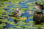 Female Wood Ducks bathing and perched on a tree stump among the lilypads at Juanita Bay Park, Kirkland, Washington, USA