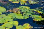 Bullfrog floating on a pond at Juanita Bay Park, Kirkland, Washington, USA