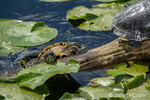 Red Ear Slider turtle struggling to climb onto a log at Juanita Bay Park, Kirkland, Washington, USA