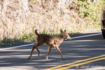 Black-tailed or Mule Deer fawn crossing the highway in front of a truck in Olympic National Park, Washington, USA