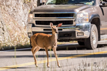 Black-tailed or Mule Deer doe crossing the highway in front of a truck in Olympic National Park, Washington, USA