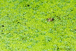Pacific Tree Frog or Pacific Chorus Frog (Pseudacris regilla) resting in a pond covered with Duckweed (Lemna minor) in Issaquah, Washington, USA.