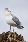 Herring Gull perched on a tree stump at Birch Bay State Park, Washington, USA