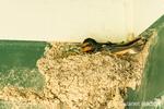 Barn Swallow sitting on its mud nest in Nisqually National Wildlife Refuge, Nisqually, Washington, USA