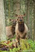 Two male Roosevelt Elk with their antlers trimmed at Northwest Trek Wildlife Park near Eatonville, Washington, USA