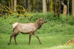 Female Roosevelt Elk cow walking in Northwest Trek Wildlife Park near Eatonville, Washington, USA