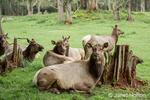 Herd of female Roosevelt Elk cows resting at Northwest Trek Wildlife Park near Eatonville, Washington, USA