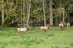 Herd of male and female Roosevelt Elk at Northwest Trek Wildlife Park near Eatonville, Washington, USA