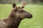 Female Roosevelt Elk portrait at Northwest Trek Wildlife Park near Eatonville, Washington, USA