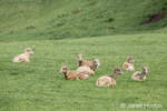 Herd of Mountain Goats resting at Northwest Trek Wildlife Park near Eatonville, Washington, USA