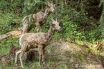 Two shaggy-looking Mountain Goats in Northwest Trek Wildlife Park near Eatonville, Washington, USA