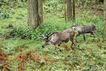 Two (male and female) Caribou at Northwest Trek Wildlife Park near Eatonville, Washington, USA
