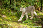 Canada Lynx walking at Northwest Trek Wildlife Park near Eatonville, Washington, USA
