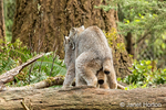 Canada Lynx mating at Northwest Trek Wildlife Park near Eatonville, Washington, USA