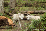 Two white Gray Wolves in a forest clearing in Northwest Trek Wildlife Park near Eatonville, Washington, USA