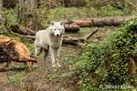 White-colored Gray Wolf at Northwest Trek Wildlife Park near Eatonville, Washington, USA