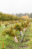 Young grape vines in an Autumn rain near Hood River, Oregon, USA.  They are protected by vine covers which also accelerate growth. Placing vine shelters around transplants, or retrofitting to existing young plants creates an ideal environment for vines to grow. Field studies of vine shelters have have shown increased growth rates of 100 - 150%.