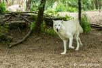 White Grey Wolf