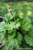 Over-wintered rhubarb plant which has bolted in springtime