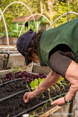 Woman planting carrot seeds in a raised bed garden
