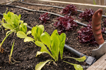 Buttercrunch and Red Leaf lettuce growing in a raised bed garden in springtime