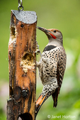 Male Northern Flicker eating from a suet feeder in the rain in springtime