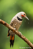 Male Northern Flicker resting on a branch in the rain in springtime