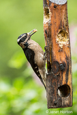 Female Hairy Woodpecker eating from a log suet feeder in the rain in springtime