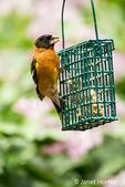 Male Black-headed Grosbeak eating from a wire basket suet feeder in springtime