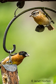 Male and female Black-headed Grosbeaks eating from a log suet feeder in springtime
