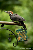 Juvenile male Pileated Woodpecker perched above a suet feeder