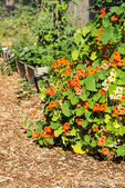 Nasturtiums overflowing their home in a raised bed garden in a garden in Issaquah, Washington, USA.  All parts of Tropaeolum majus are edible. The flower has most often been consumed, making for an especially ornamental salad ingredient; it has a slightly peppery taste reminiscent of watercress, and is also used in stir fry.
