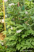 Potato plant with blossoms in a garden.
