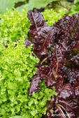 Two looseleaf lettuce types, Salad Bowl and Merlot, growing in a garden