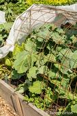 Caledonian Kale growing under a hoop cover in a garden.