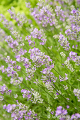 French Lavender (Lavandula Intermedia) or Lavandin.  Lavandins are used more for their aromatic properties and considered good in cleaning products.