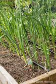 Leek plants growing
